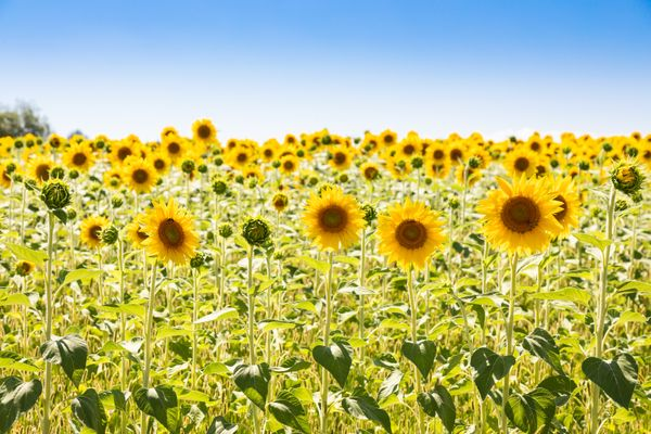 Sunflowers field in Italy. Scenic countryside in Tuscany with blue sky.