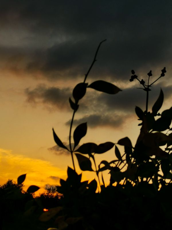 Plant with sunset