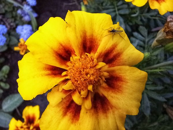 A mosquito on a yellow marigold flower.