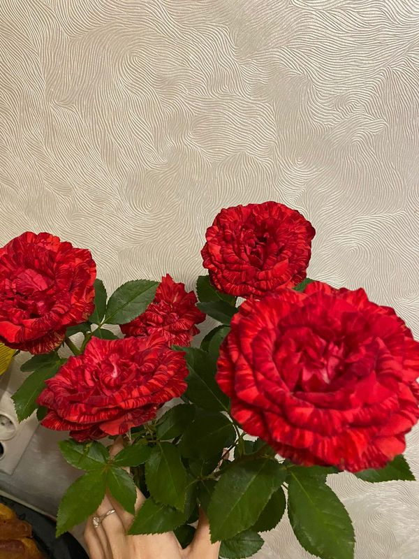Flowers of a red double rose