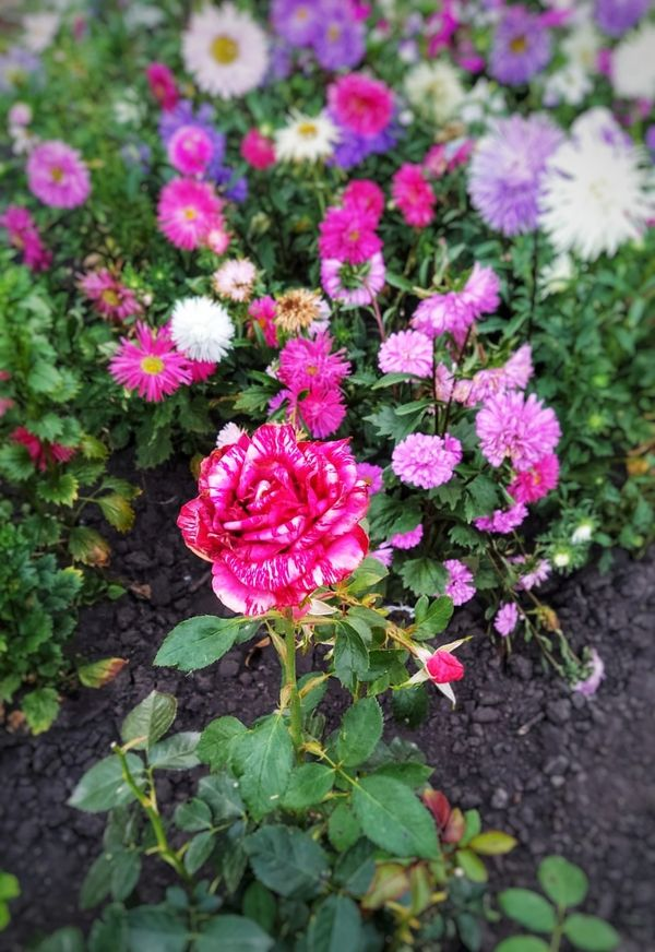 Purple rain rose bush surrounded by aster flowers.