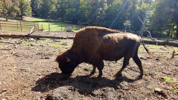 The European bison
