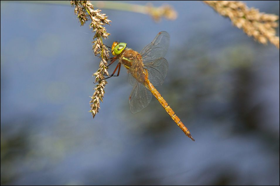 A Norfolk Hawker resting in the sunshine.