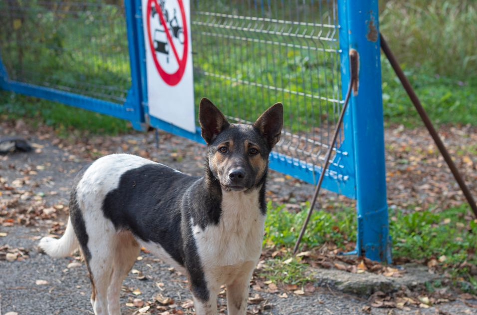 An innocent stray dog ??with black and white spots that protects an entrance.jpg